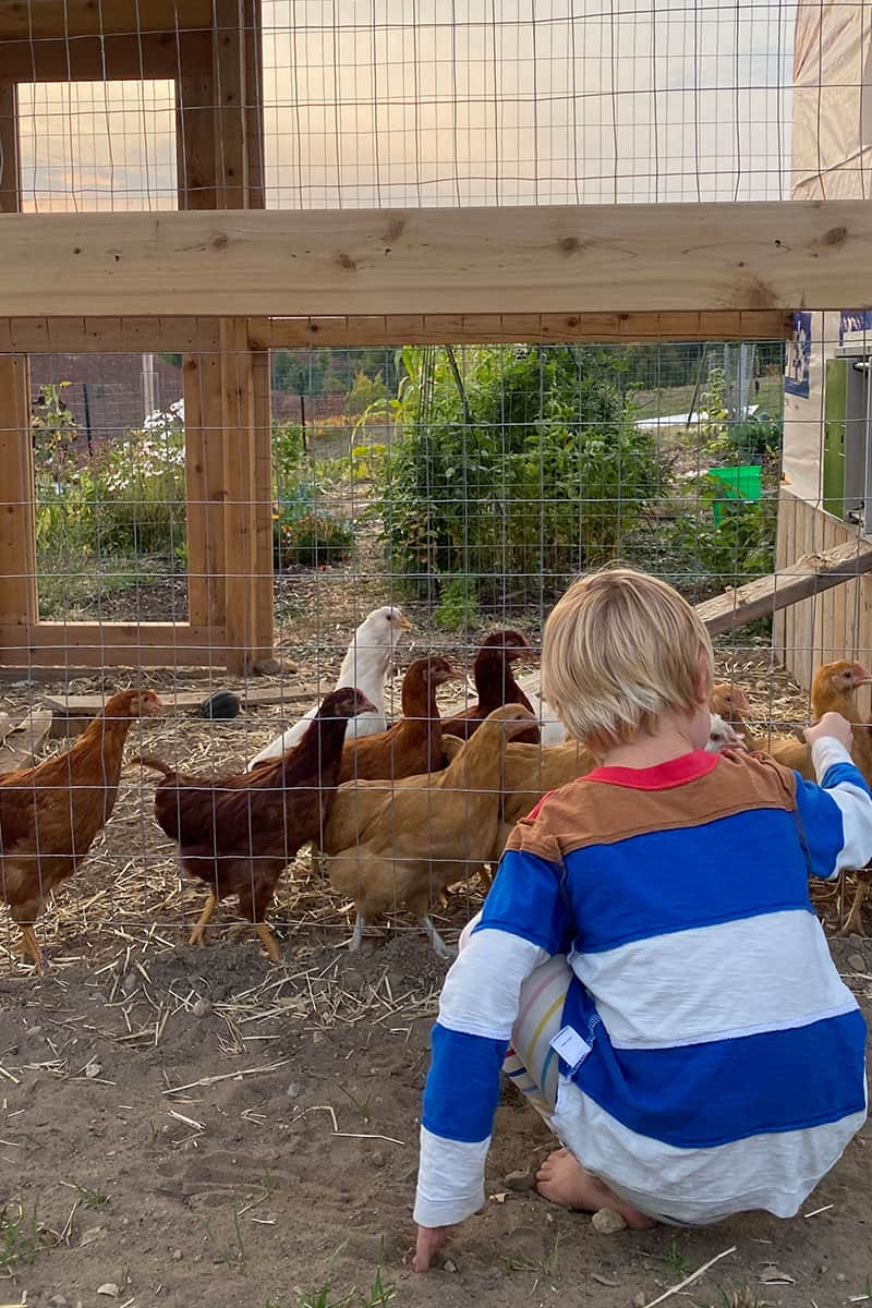 Everything About Backyard Chickens - The Fresh Exchange