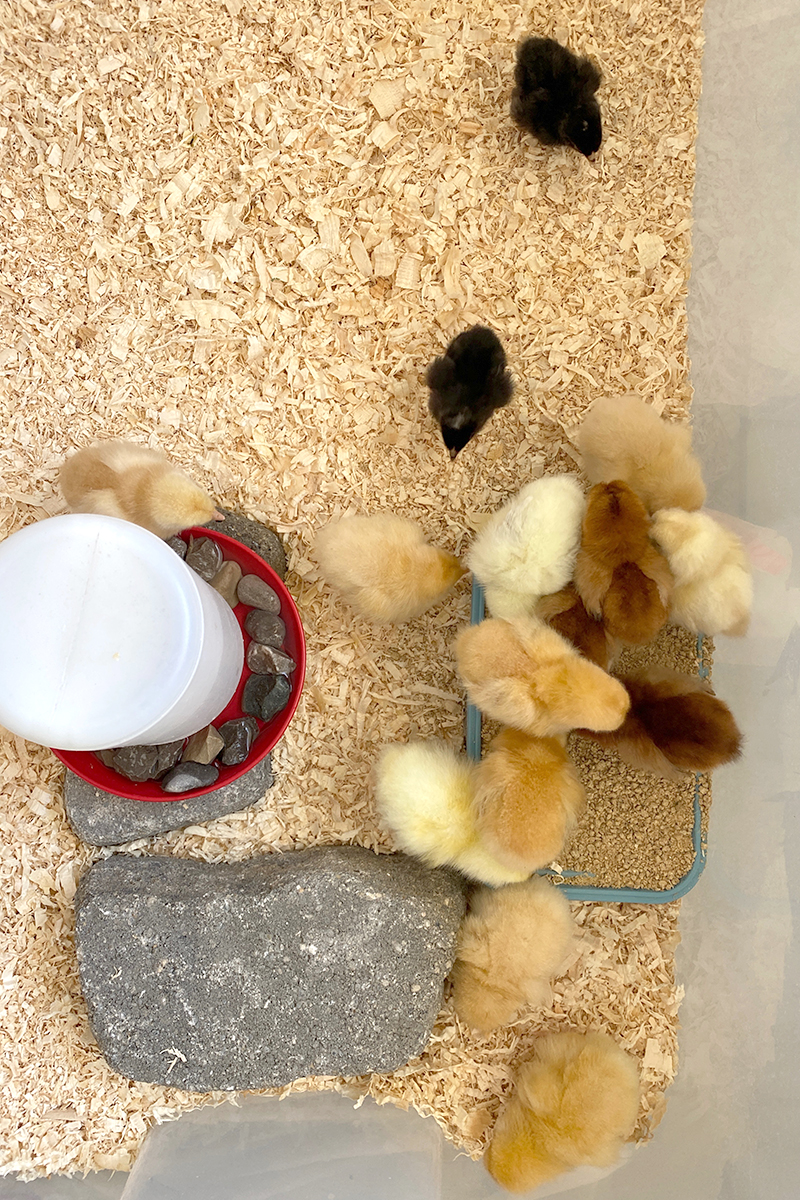 What You need for Baby Chicks for Their Brooder and Care