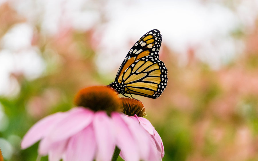 Discover the importance of Native Plants for the home gardener