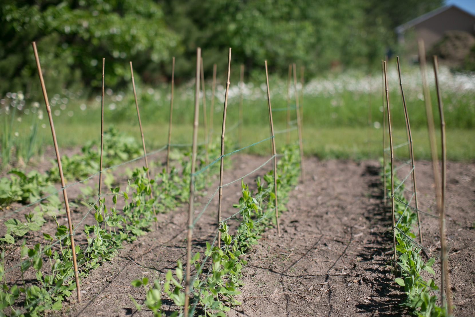 Garden: Sugar Snap Peas | The Fresh Exchange