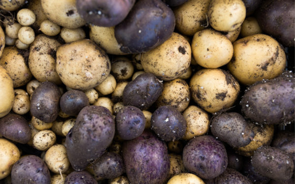 How and When to Harvest Potatoes as a Beginner
