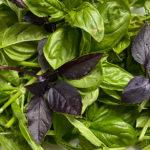 Green and Purple Basil