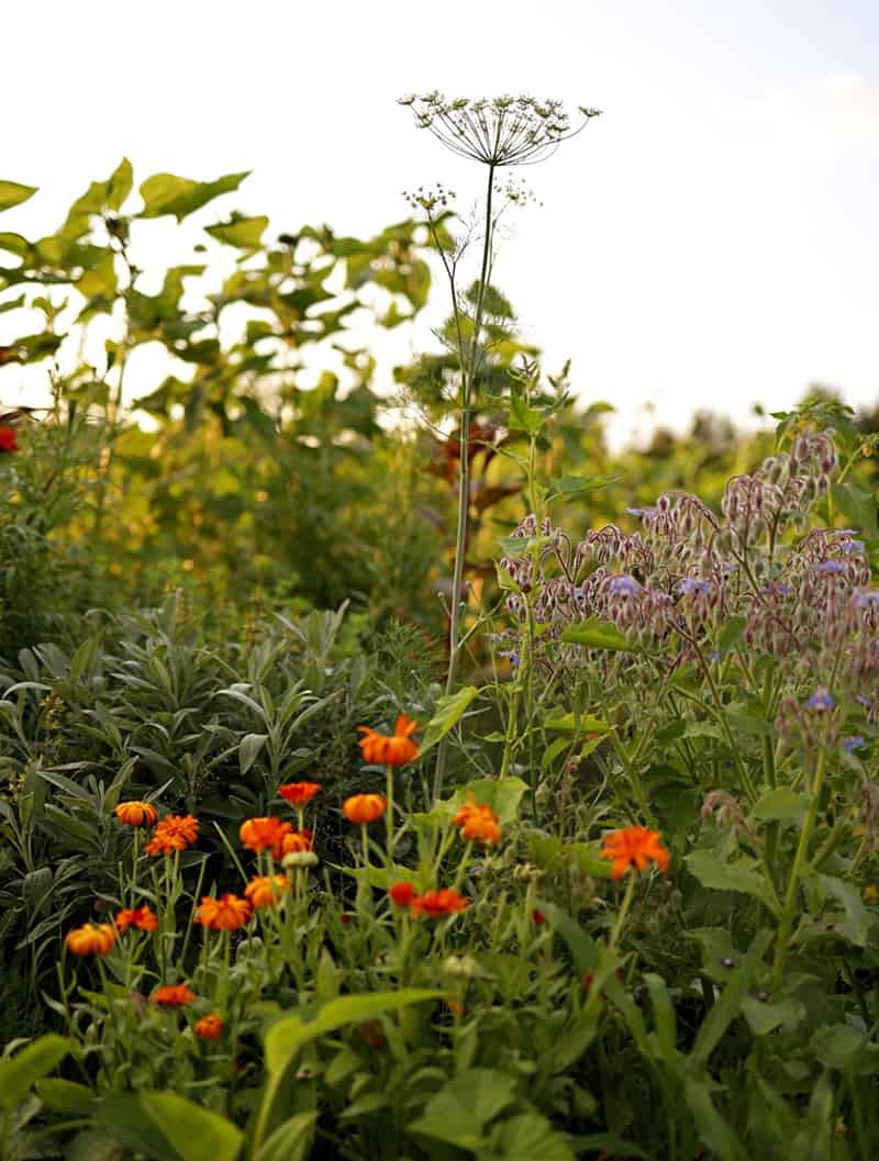 Calendula, borage, and Queen's Ann's Lace growing in the garden