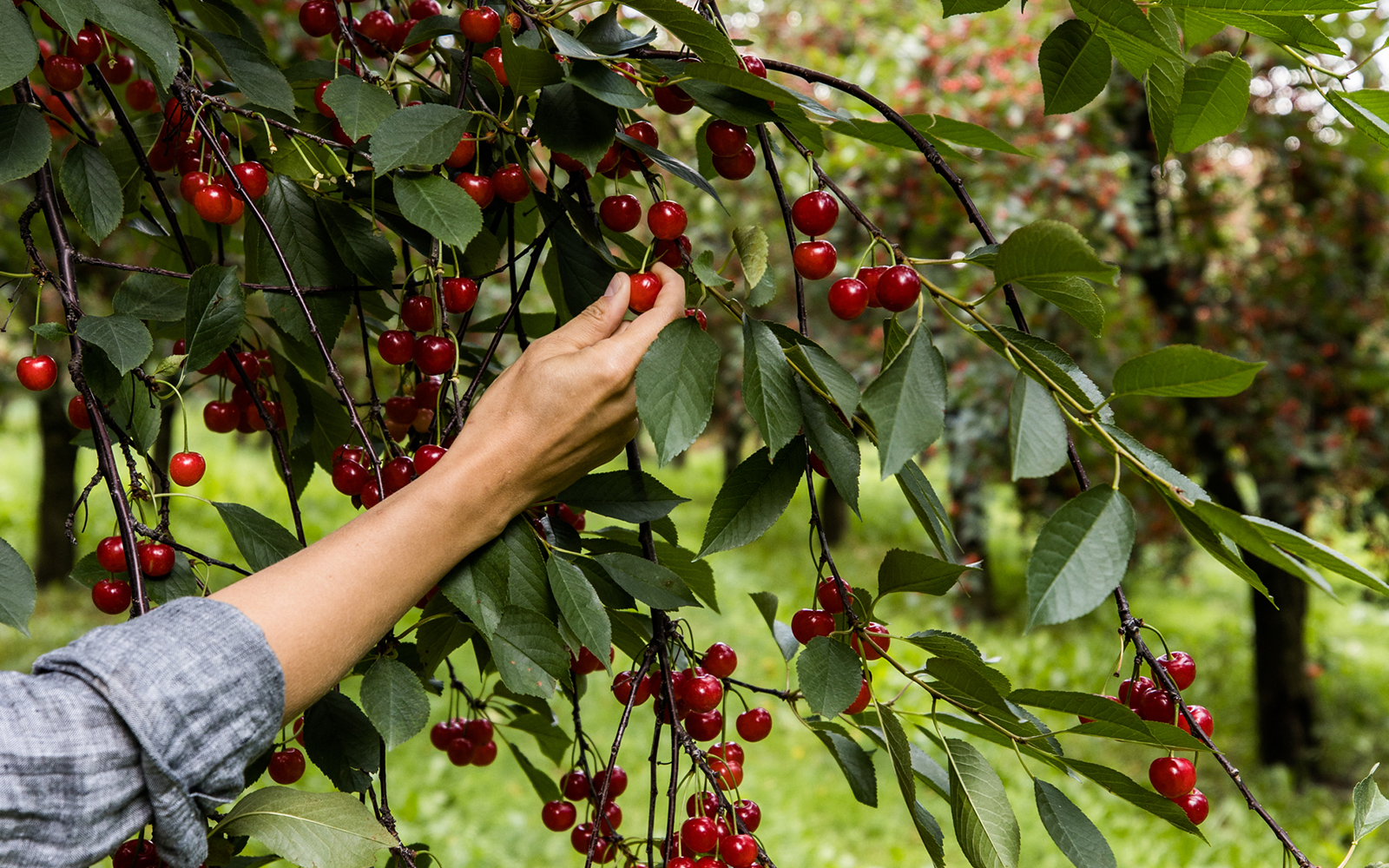 Touring a Tart Cherry Orchard in Northern Michigan with Montmorency Tart Cherries.