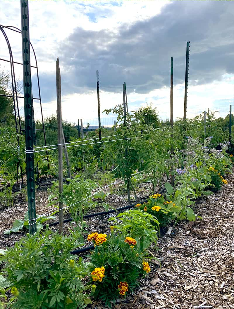 Example of How to use a tomato cage alternative in your garden