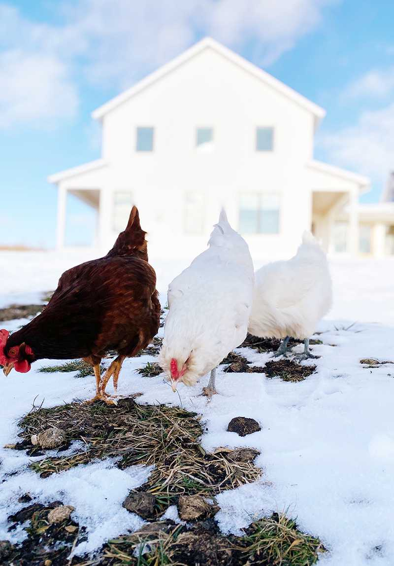 can chickens eat avocados - three chickens in a snowy land trying to look for something to eat