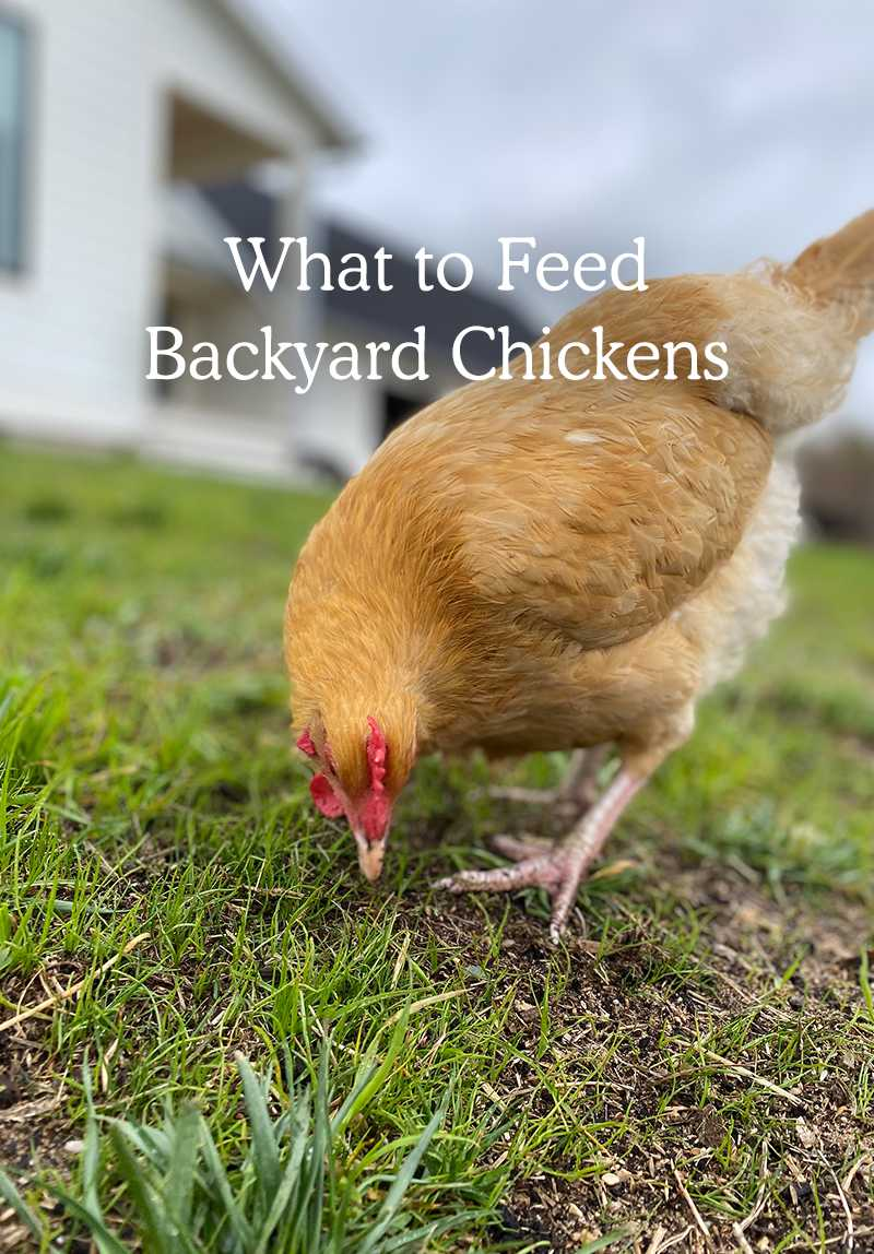 what to feed chickens - chicken eating from the grass