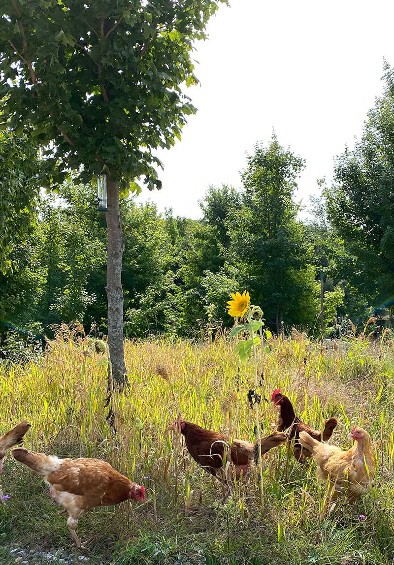 can chickens eat lettuce - chickens near a sunflower looking for food to eat