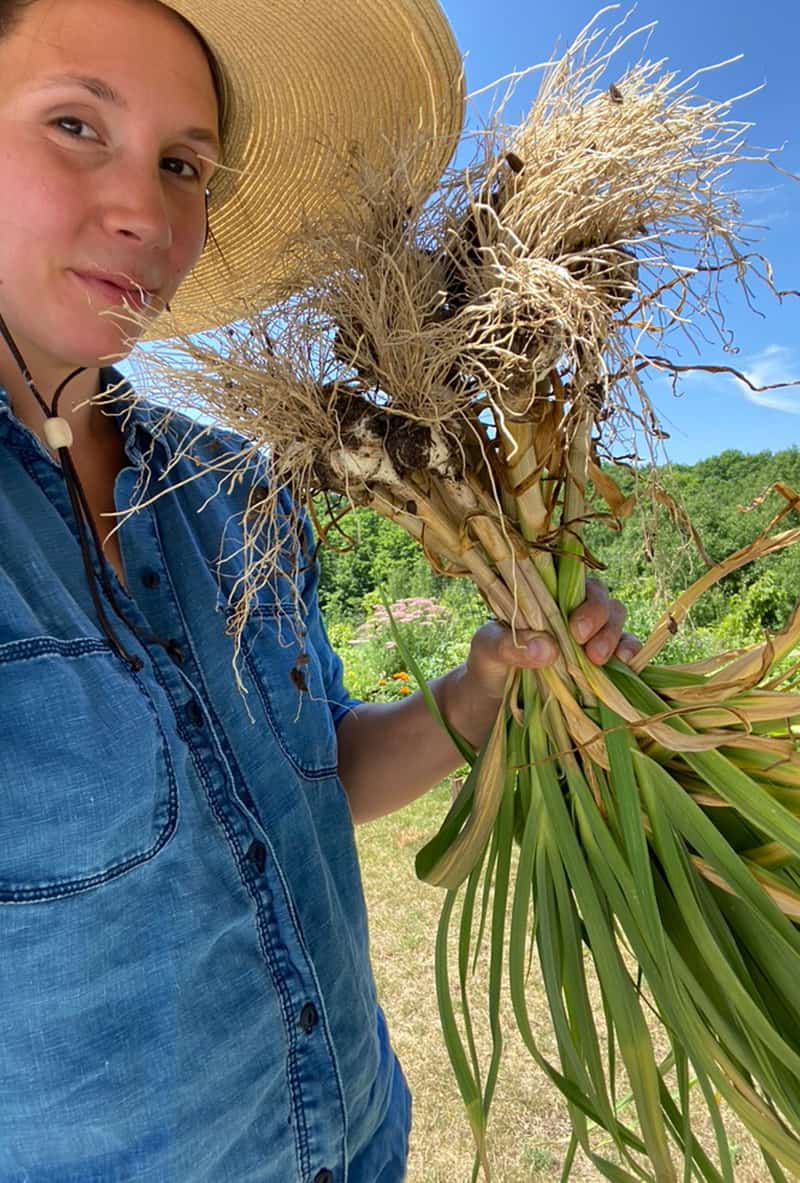 How to Know When to Harvest Garlic from your Garden