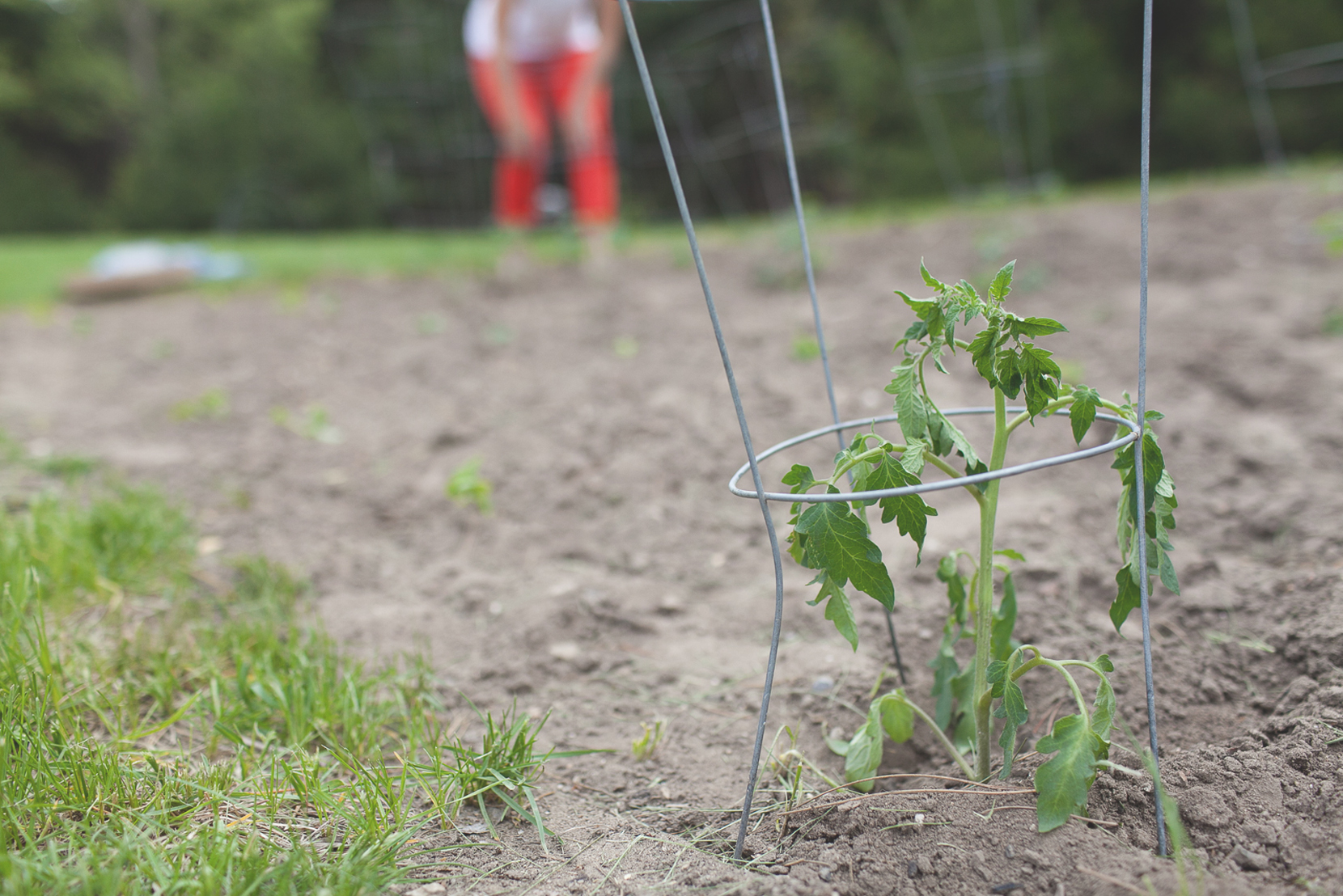 Garden: Planting Tomatoes  |  The Fresh Exchange